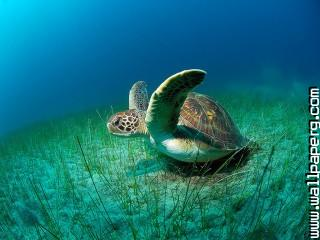 Animals sea turtles under