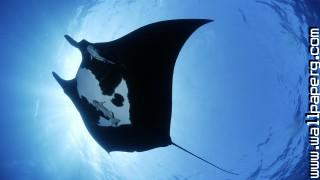Giant stingray ,wide,wallpapers,images,pictute,photos