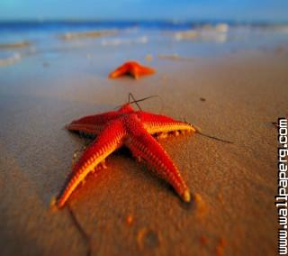 Star fish 2 ,wide,wallpapers,images,pictute,photos