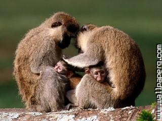 Africa monkeys awesome wallpaper ,wide,wallpapers,images,pictute,photos