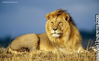 African lions ,wide,wallpapers,images,pictute,photos