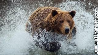 Bear ,wide,wallpapers,images,pictute,photos