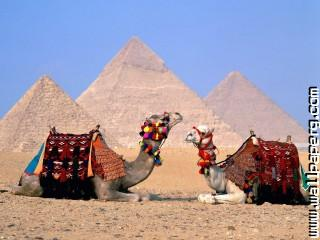 Camels at giza ,wide,wallpapers,images,pictute,photos