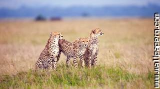 Cheetah family ,wide,wallpapers,images,pictute,photos