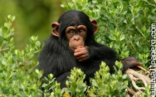 Chimpanzee branch wallpaper