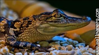 Crocodile ,wide,wallpapers,images,pictute,photos