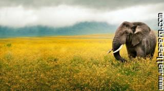 Elephants ,wide,wallpapers,images,pictute,photos