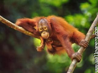 Animals branches orangutans awesome wallpaper