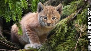Feline cub ,wide,wallpapers,images,pictute,photos