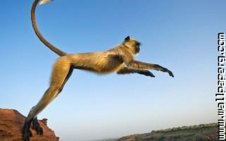 Jumping monkeys nature awesome wallpaper