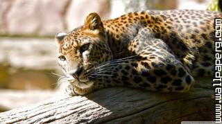 Leopard resting ,wide,wallpapers,images,pictute,photos