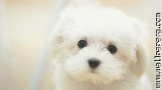 Cute maltese dog