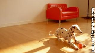Dalmatian playing ,wide,wallpapers,images,pictute,photos