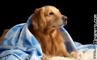 Dog with blanket ,wide,wallpapers,images,pictute,photos