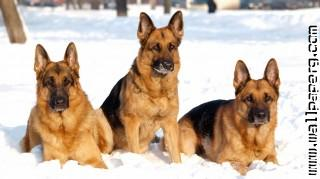 German shepehard dogs
