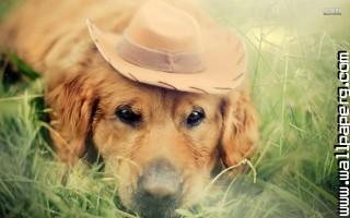 Golden retriver with hat ,wide,wallpapers,images,pictute,photos