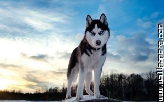 Husky ,wide,wallpapers,images,pictute,photos