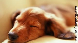 Sleeping dog ,wide,wallpapers,images,pictute,photos