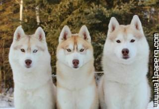 Snow dogs ,wide,wallpapers,images,pictute,photos