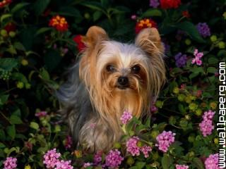 Yorkshire terrier animals dogs awesome wallpaper