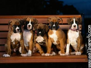 Animals boxer dog dogs puppies awesome wallpaper