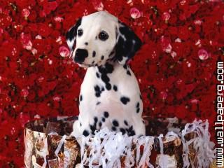 Dalmatians dogs roses awesome wallpaper