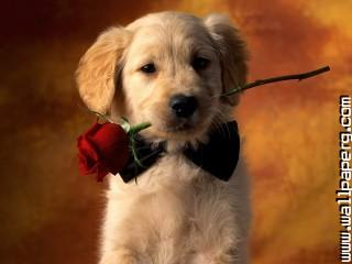 Puppy golden cute ,wide,wallpapers,images,pictute,photos