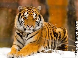 Sleepy siberian tiger wil