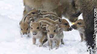 Wild boar animals awesome wallpaper