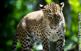 Animals cats leopards wil
