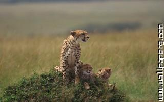 Animals cheetahs cubs wild cats awesome wallpaper