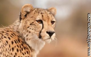 Animals cheetahs wild cat