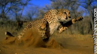 Animals cheetahs wild cats awesome wallpaper ,wide,wallpapers,images,pictute,photos
