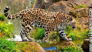 Animals grass green jaguars wild awesome wallpaper