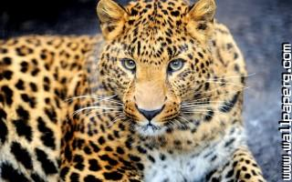 Animals leopards wild awe