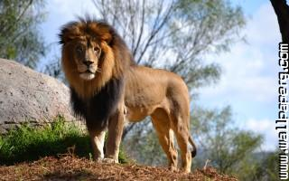 Animals lions nature wild