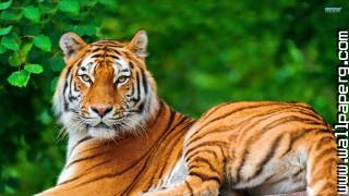 Animals nature tigers wild awesome wallpaper