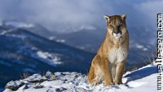 Animals puma snow wild cats awesome wallpaper ,wide,wallpapers,images,pictute,photos