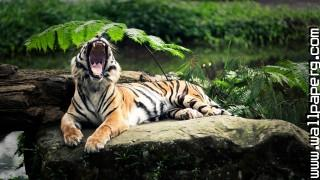 Animals roar tigers wild animals awesome wallpaper