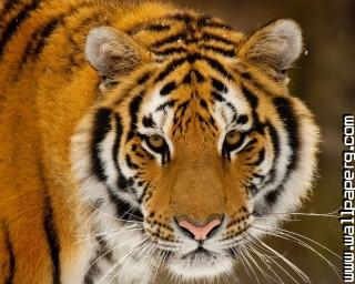 Animals tigers wild animals awesome wallpaper(4) ,wide,wallpapers,images,pictute,photos