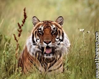 Animals tigers wild animals awesome wallpaper(5) ,wide,wallpapers,images,pictute,photos