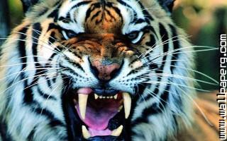Animals tigers wild animals awesome wallpaper