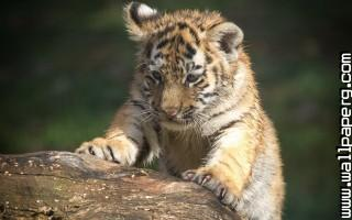 Animals tigers wild awesome wallpaper ,wide,wallpapers,images,pictute,photos