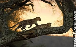 Cats leopards wild animal