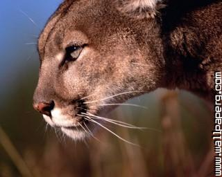 E up puma wild animals awesome wallpaper
