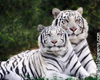 Ite tiger wild animals awesome wallpaper ,wide,wallpapers,images,pictute,photos