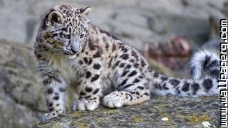 Leopards wild animals awe