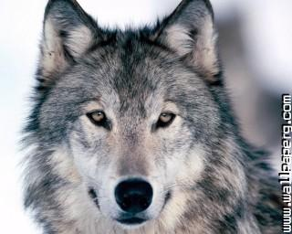 Lf wild animals wolves awesome wallpaper(1) ,wide,wallpapers,images,pictute,photos