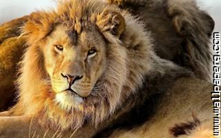 Lions nature wild animals awesome wallpaper ,wide,wallpapers,images,pictute,photos