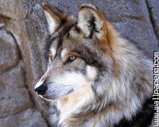 Ls wild animals wolves awesome wallpaper ,wide,wallpapers,images,pictute,photos